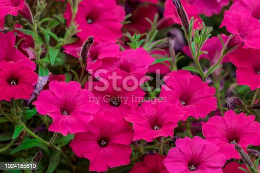 Flowerbed with purple  petunias / Image full of colourful petunia (Petunia hybrida) flowers.