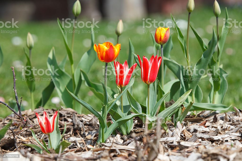 Flowerbed with red tulips royalty-free stock photo