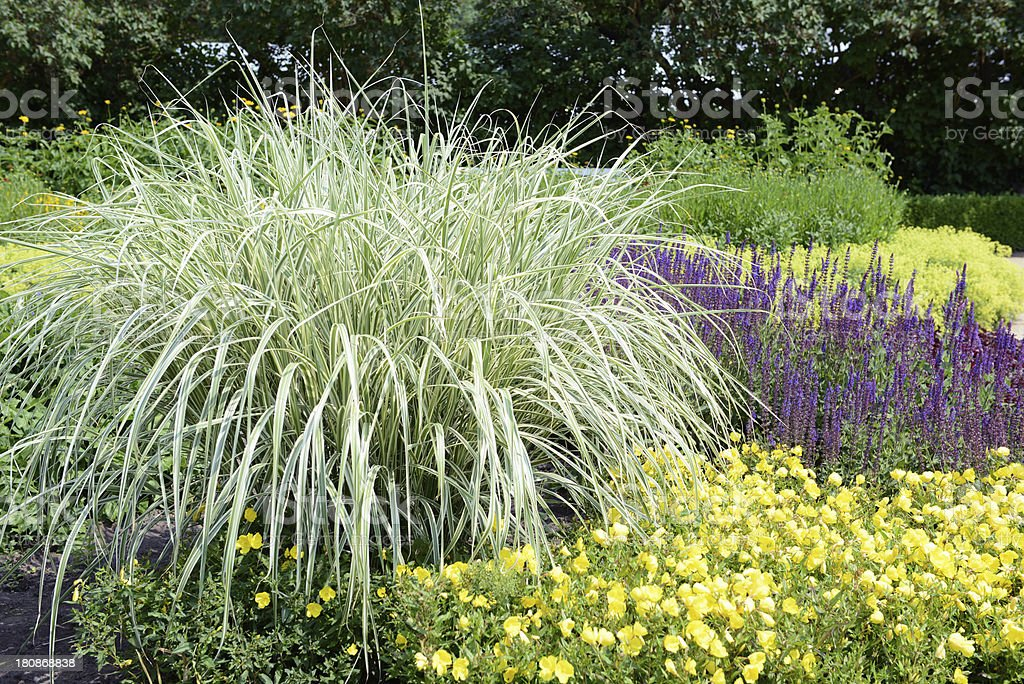 Flowerbed with Sedge grass sage and evening primerose stock photo