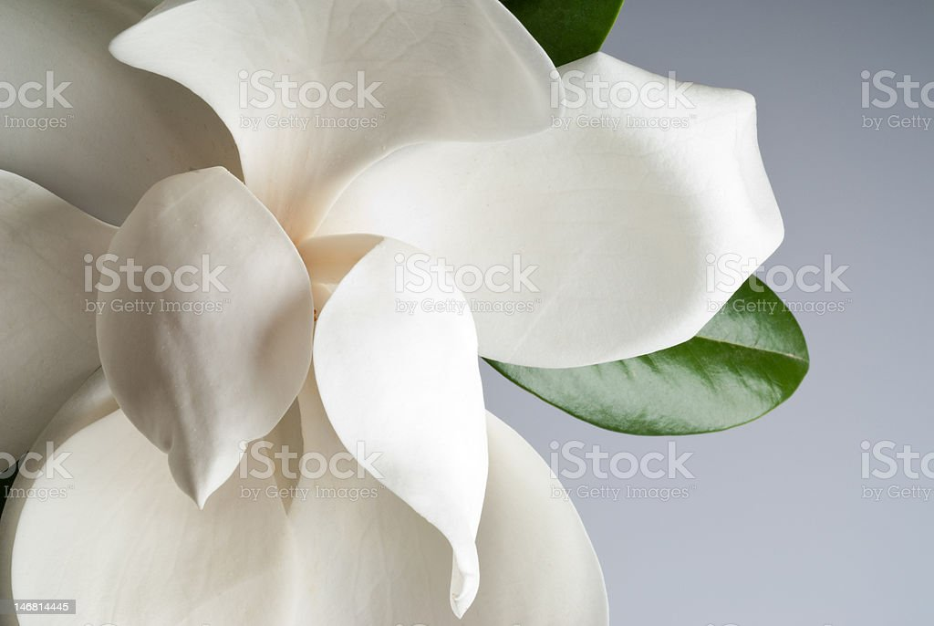 flowered magnolia stock photo