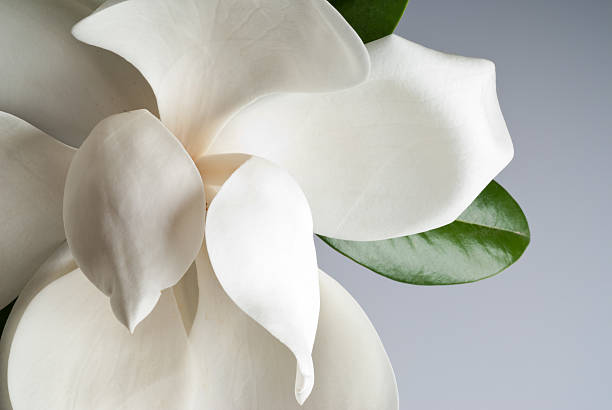 magnolia с цветочным рисунком - magnolia стоковые фото и изображения