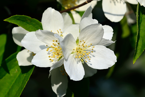 Flowered mock-orange (Philadelphus)