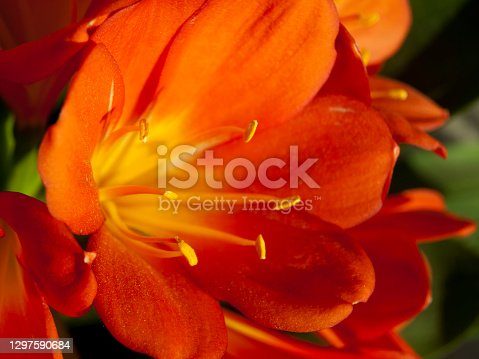 Flowered orange clivia. Macro photography of flower in spring heyday.