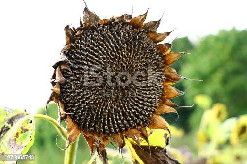 Spessart, September 16, 2017: Nahaufnahme einer verblühten Sonnenblume im September