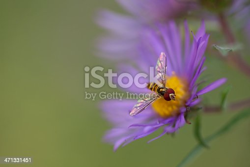 Macro, shallow depth of a syrphid fly or often times called