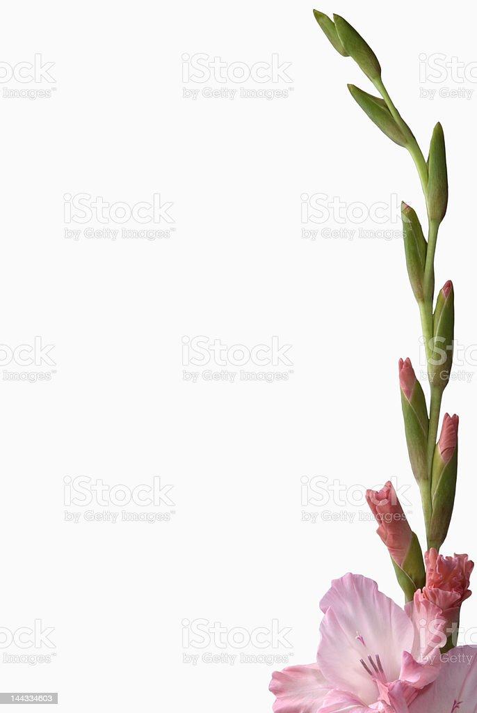 Flower-Gladiolus stem frame royalty-free stock photo