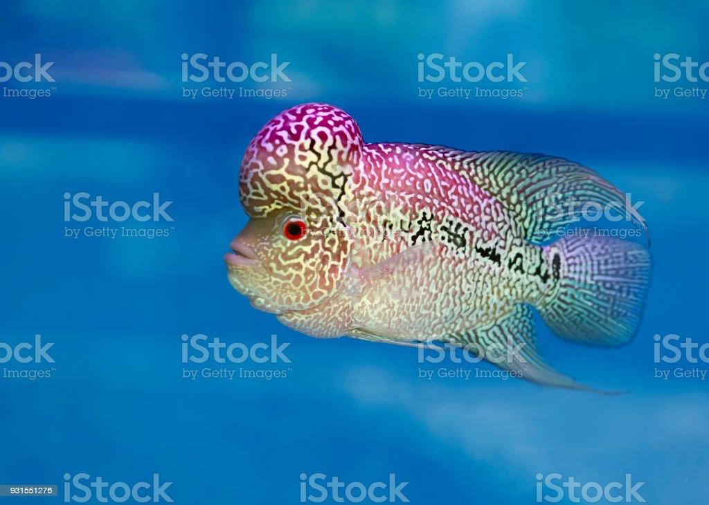 Flowerhorn Cichlid Fisch bunte Fische schwimmen im See. – Foto