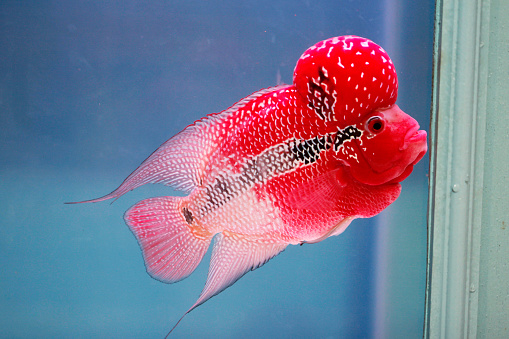 Flowerhorn Cichlid Fish In Fish Tank Stock Photo - Download Image