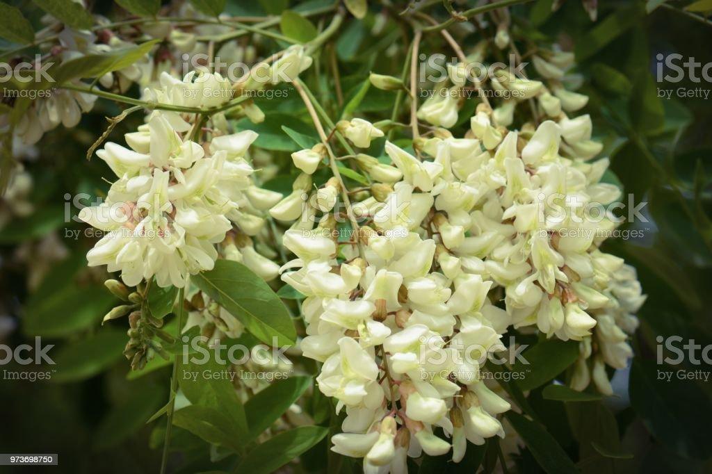 Flowering acacia tree stock photo more pictures of acacia tree flowering acacia tree royalty free stock photo mightylinksfo