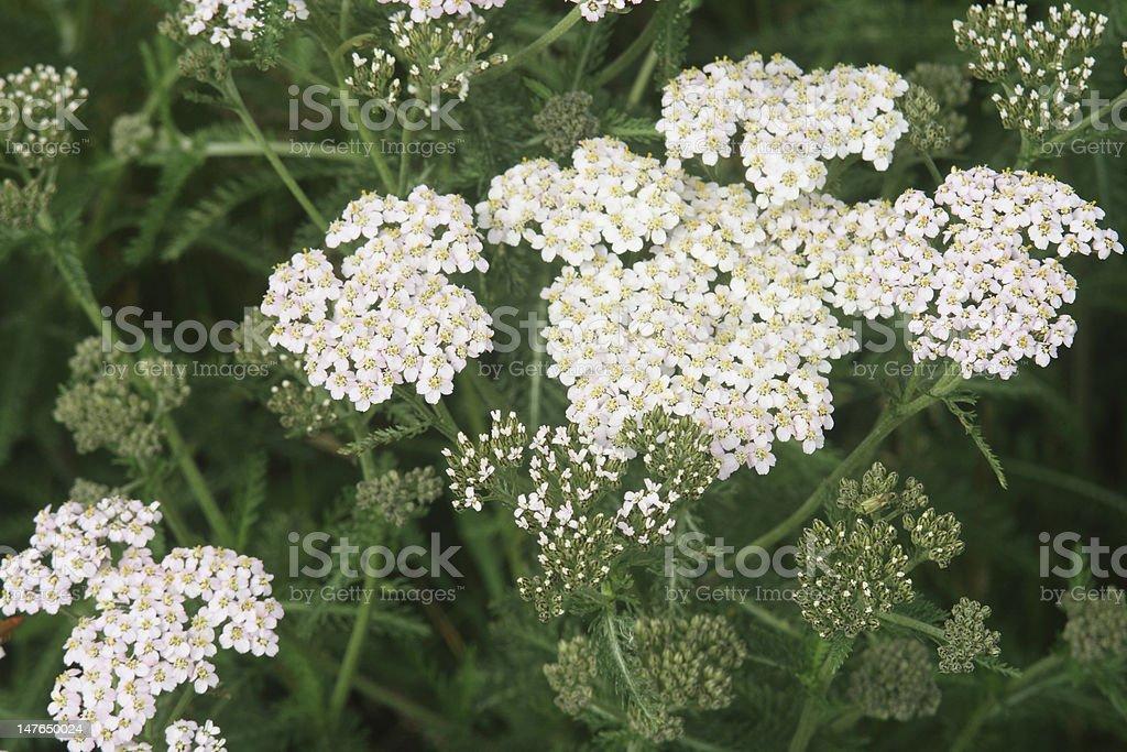 Flowering achillea. stock photo