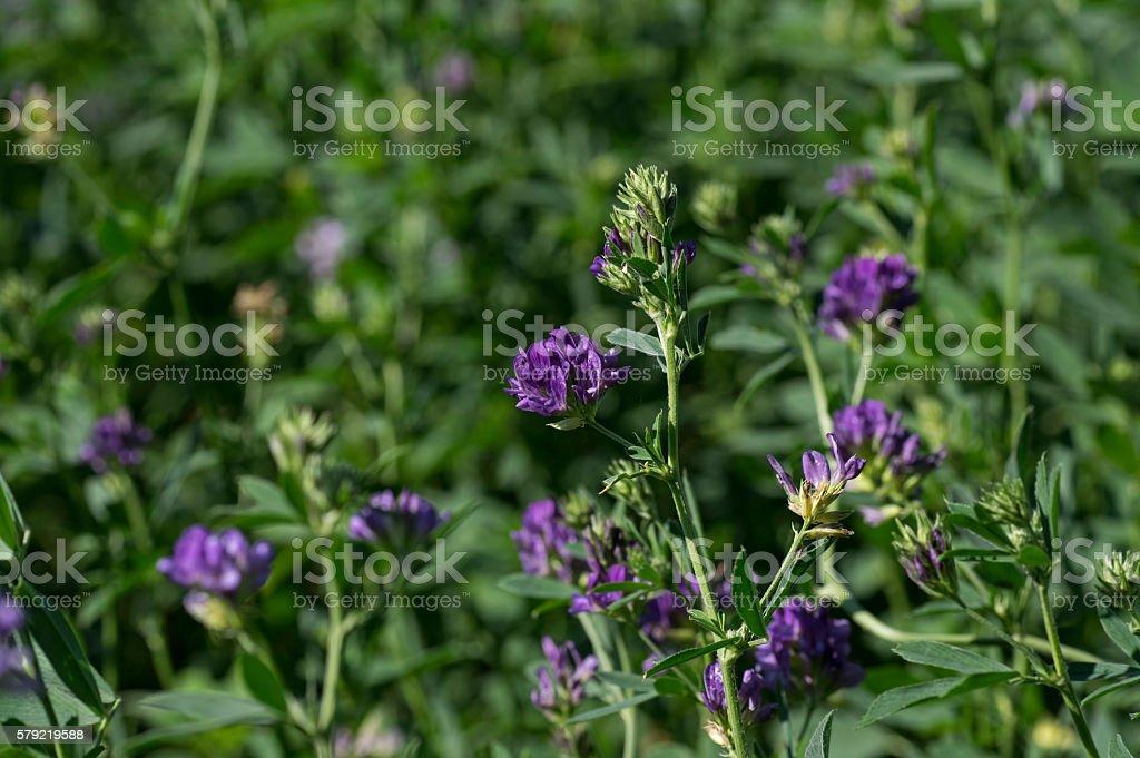 Flowering Alfalfa stock photo