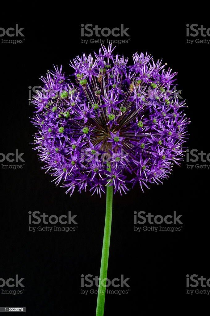 Flowering allium royalty-free stock photo