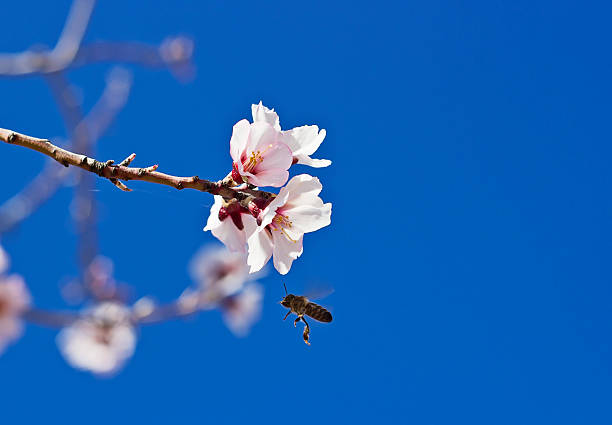 Flowering almond and a bee stock photo