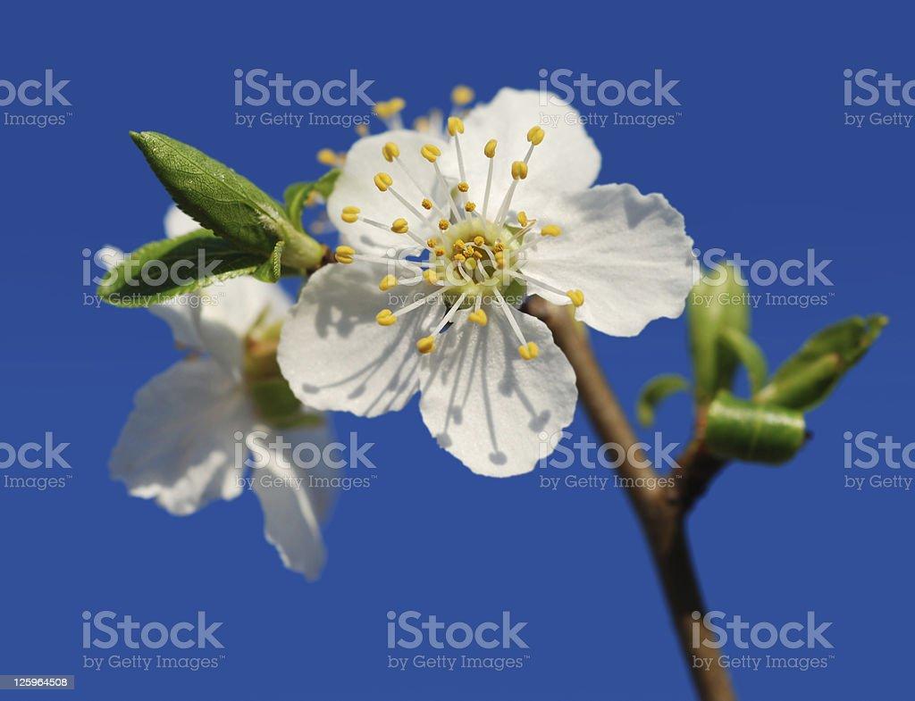 Flowering almond tree stock photo