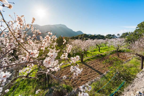 Floraison des amandiers dans la campagne de Majorque. Espagne - Photo