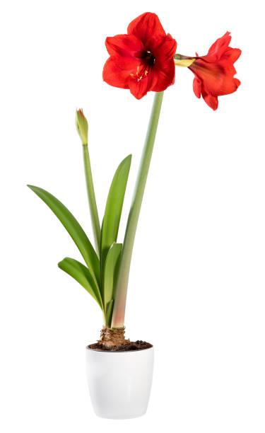 plante d'intérieur d'amaryllis de floraison dans un pot blanc - amaryllis photos et images de collection
