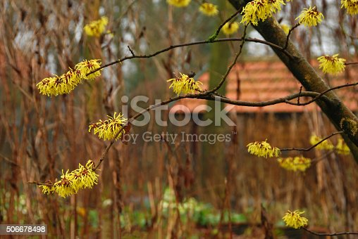 Infront of a shed is standing a flowering American witch hazel in the color yellow.