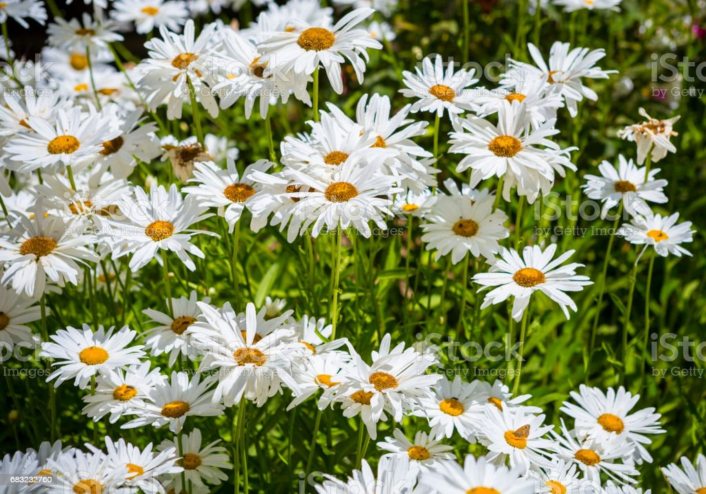 Flowering and blooming chamomile field. 免版稅 stock photo