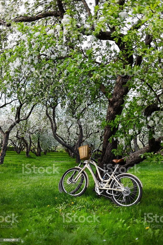flowering apple tree and bicycle in the park stock photo