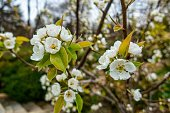 Flowering Apple Tree, close up view.