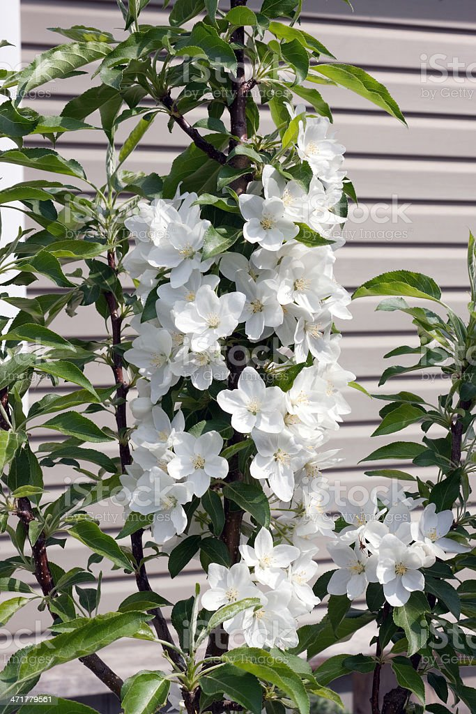 Flowering apple-tree  grown up in form of a column royalty-free stock photo