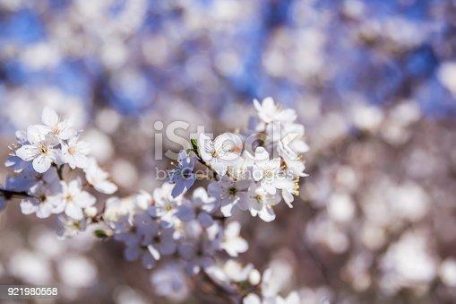 istock Flowering apricot. Blooming garden 921980558