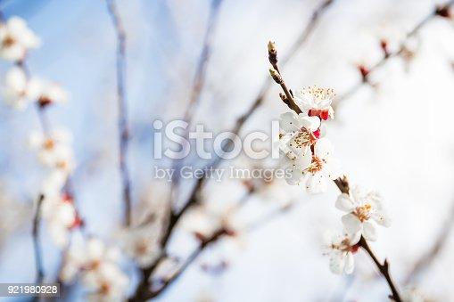 istock Flowering apricot. Blooming garden. Spring 921980928