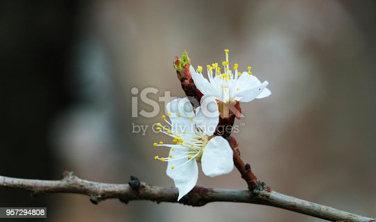 istock flowering apricot branch 957294808