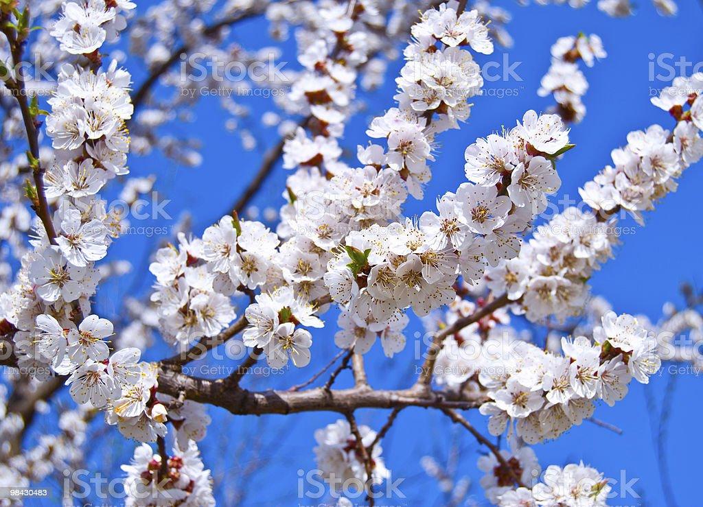 Albicocca fiorito foto stock royalty-free