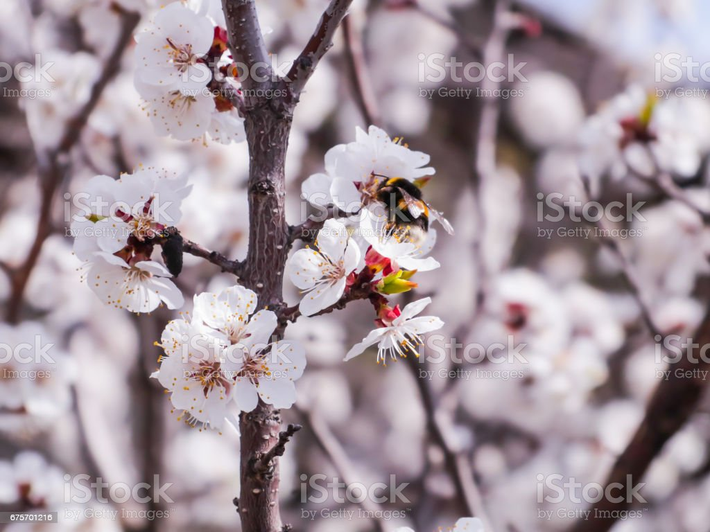 A flowering apricot tree. Bumblebee pollinating flowers royalty-free stock photo