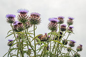 Closeup of a large  artichoke plant with several artichoke heads with purple flowers in bloom. The photo was taken on a cloudy day.