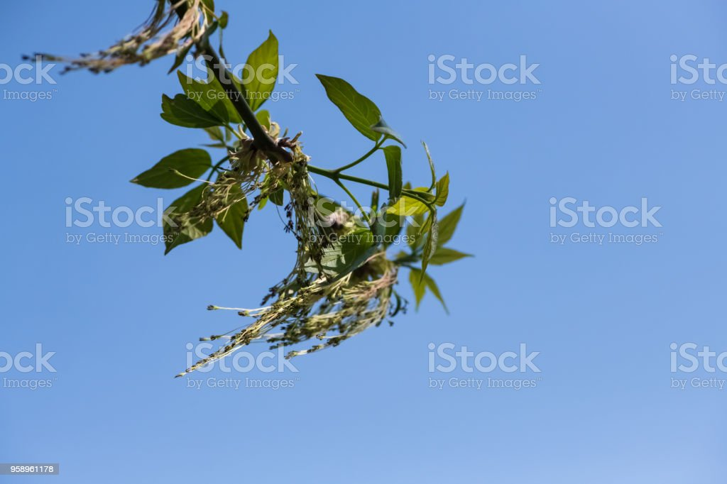 Flowering ash-leaved maple. Blurred Background stock photo