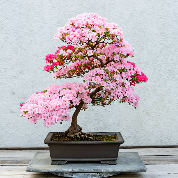 Flowering azalea bonsai tree stock photo
