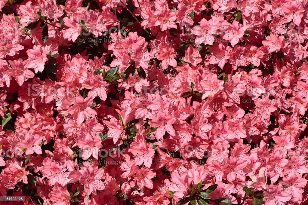 Hot pink azalea background flowering bush stock photo