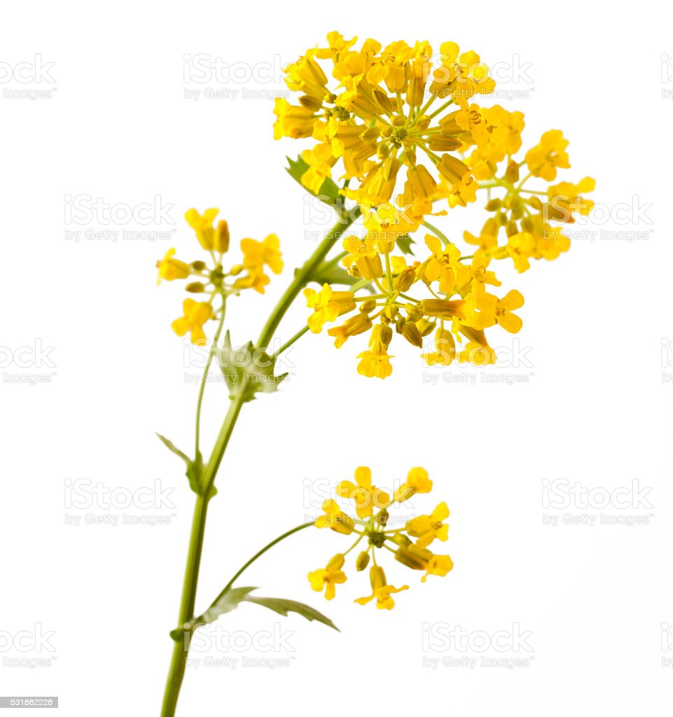 Flowering Barbarea vulgaris or Yellow Rocket plant stock photo