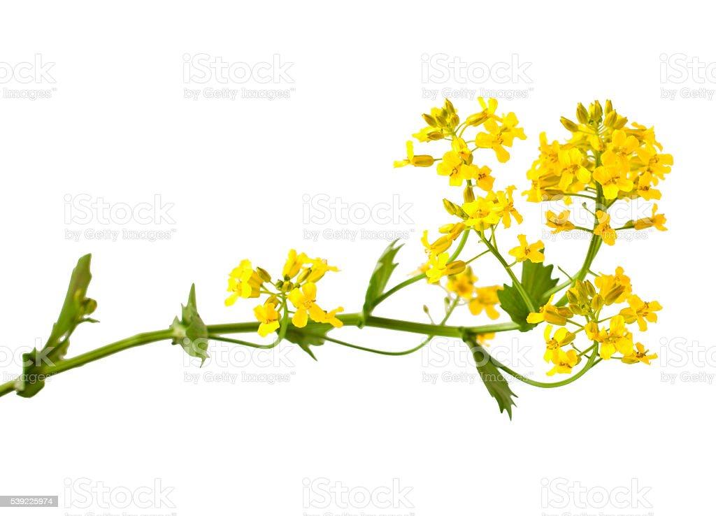 Flowering Barbarea vulgaris or Yellow Rocket plant stock photo