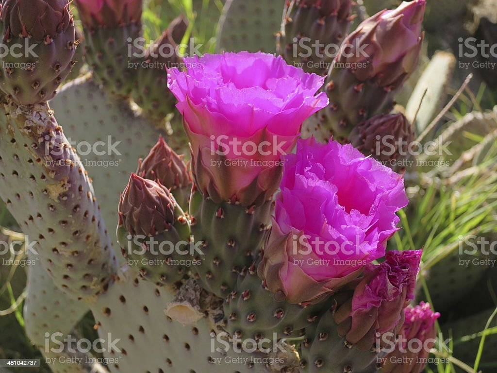 Flowering Beavertail Cactus stock photo