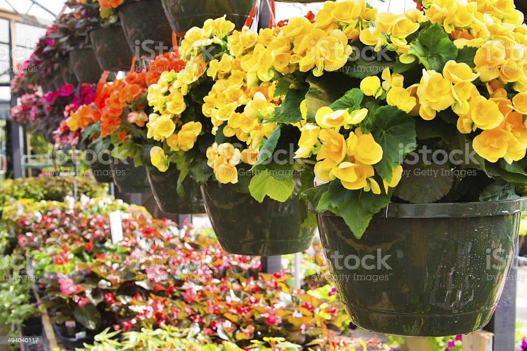 Flowering Begonia Planters Hanging in Garden Center Plant Nursery Business stock photo