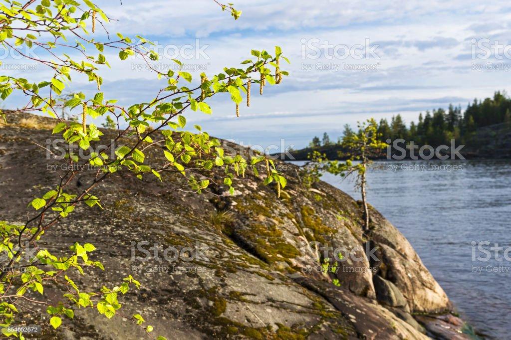 Flowering birch on the background of coastal rocks. stock photo