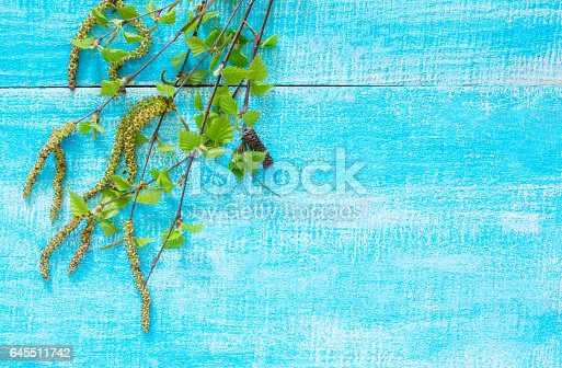 istock Flowering birch tree branches on a blue wooden background, with space for text. 645511742