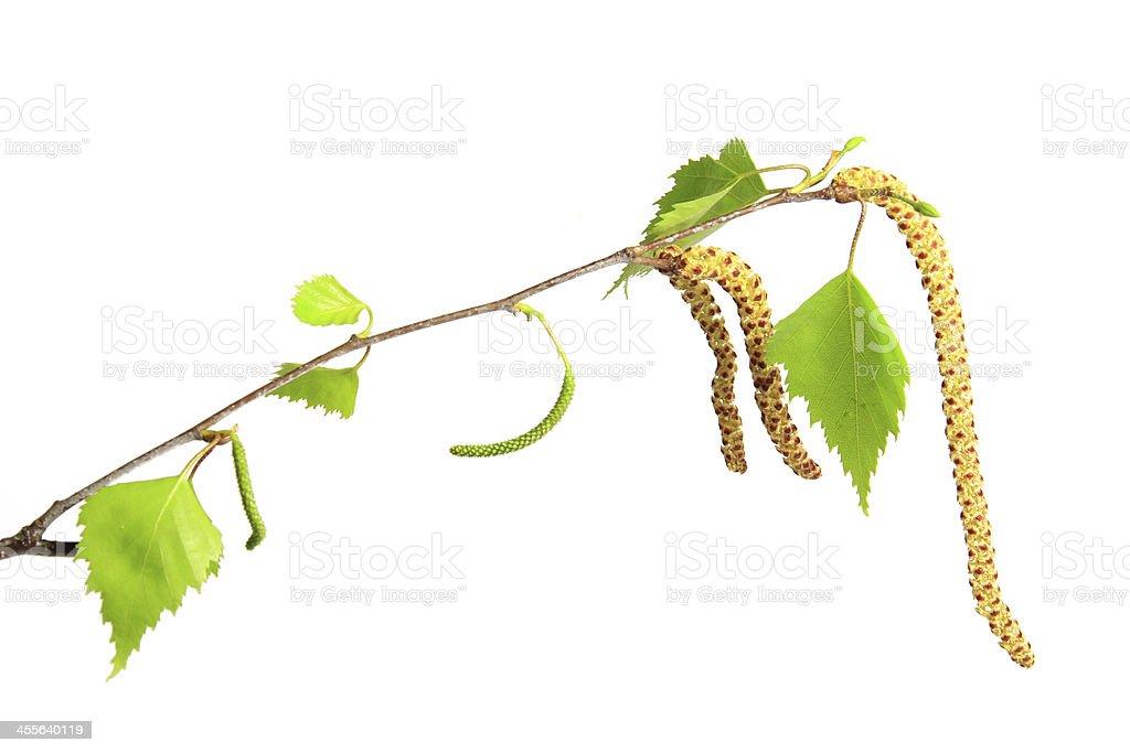 Flowering birch twig royalty-free stock photo