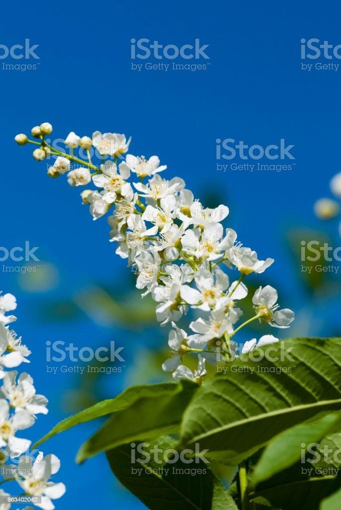 kwitnąca wiśnia ptaków - Zbiór zdjęć royalty-free (Bez ludzi)