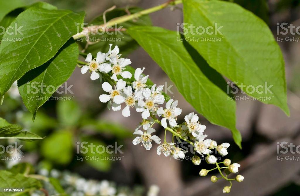 flowering bird cherry - Royalty-free Blossom Stock Photo