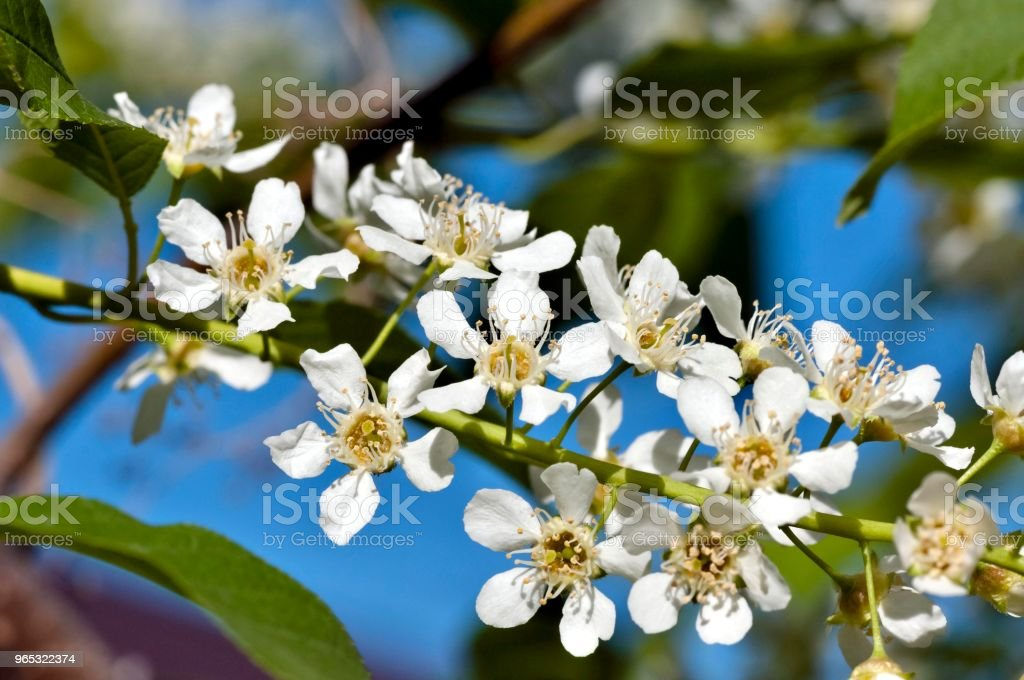 flowering bird cherry royalty-free stock photo