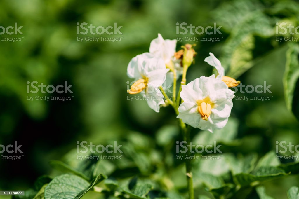 Flowering Blooming Green Vernal Sprouts Of Potato Plant Or Solanum Tuberosum Growing On Plantation In Spring Summer stock photo