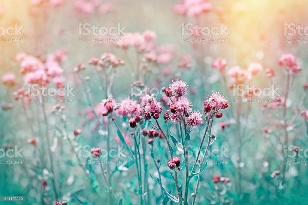 Flowering, blooming thistle - burdock in meadow - foto stock