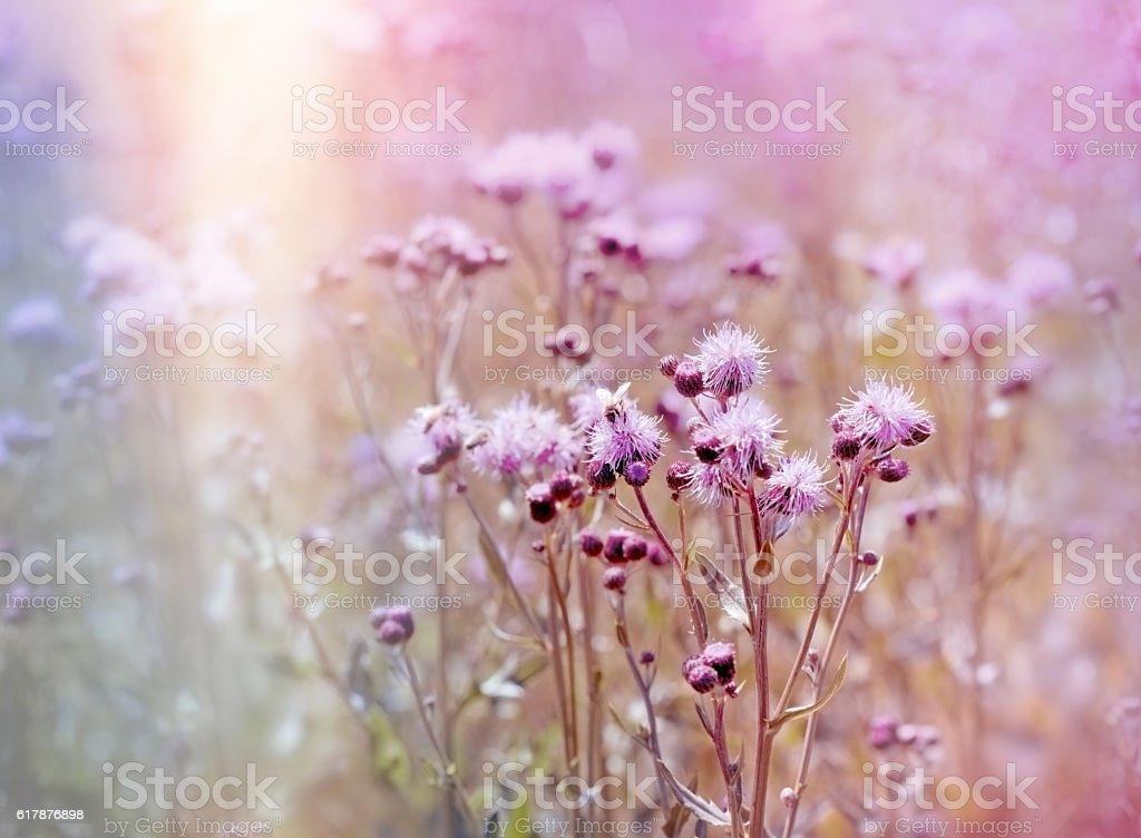 Flowering, blooming thistle (burdock) in meadow stock photo