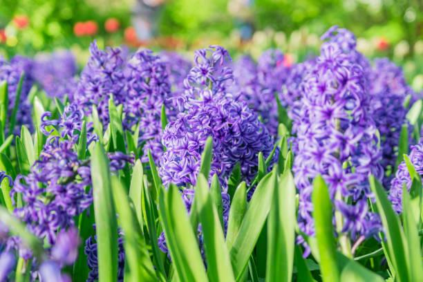 블루 히 아 신 스 (hyacinthus 리스) 화 단에서 성장 하 고 개화. 꽃 배경, 원 예입니다. 봄 휴일 카드, 꽃 배경입니다. - 히아신스 뉴스 사진 이미지