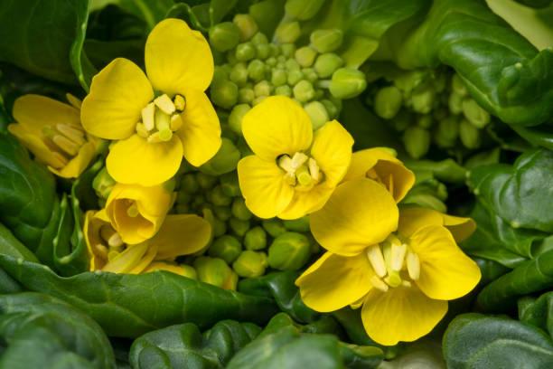 꽃복 초이 클로즈업 - 브라시카 라파 뉴스 사진 이미지
