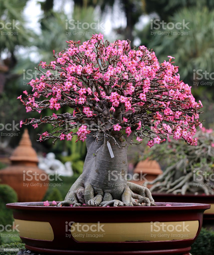 Flowering Bonsai Tree Stock Photo Download Image Now Istock